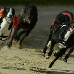 BRIGHTON, ENGLAND - FEBRUARY 28:  Solid Fairy (R) leads eventual winner Cabra Bolt into the first bend during the ninth race at the Coral Brighton and Hove Greyhound stadium on February 28, 2014 in Brighton, England.  (Photo by Mike Hewitt/Getty Images)
